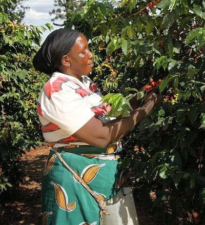 photo of person harvesting coffee beans